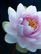 Nymphaea 'Darwin' - waterlily