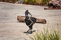 Calaos d'Abyssinie: Abyssinian ground hornbill - Bucorve d'Abyssinie (Bucorvus abyssinicus). <br /> Considere comme l'un des plus importants parcs ornithologiques en Europe, le Parc des Oiseaux presente une collection d'oiseaux exceptionnelle de plus de 3000 individus, representant pres de 300 especes originaires de tous les continents.<br /> Exclusivites: Le spectacle d'oiseaux en vol, tous les jours, est un veritable festival de couleur