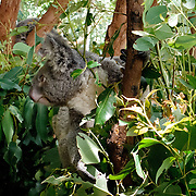 Kuranda Tour in Cairns surroundings. Kuranda is a village in the rainforest. Koala (phascolarctos cinerus).
