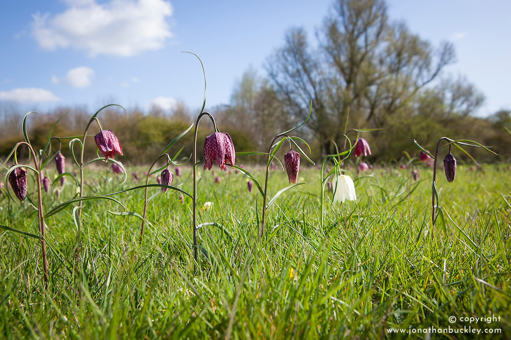 Fritillaries growing wild in Fox Meadow in Suffolk. Fritillaria meleagris