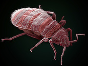 Colored scanning electron micrograph (SEM) of the head of a bedbug (Cimex sp.). It has a compound eye (grey) on each side of its head. Antennae protrude on either side of its mouth. The stylet, a piercing mouthpiece (red, center,) is used to suck blood from warm-blood animals, including humans. Bedbugs are generally only active at night, hiding in crevices in walls and furniture and in bedding during the day. Although they do not transmit disease, their saliva can cause itchy swellings on the skin.