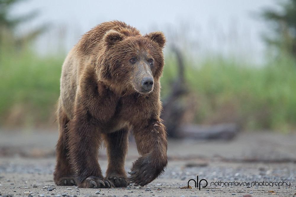 Brown bear (male) walking on beach;  Lake Clark, Alaska in wild.