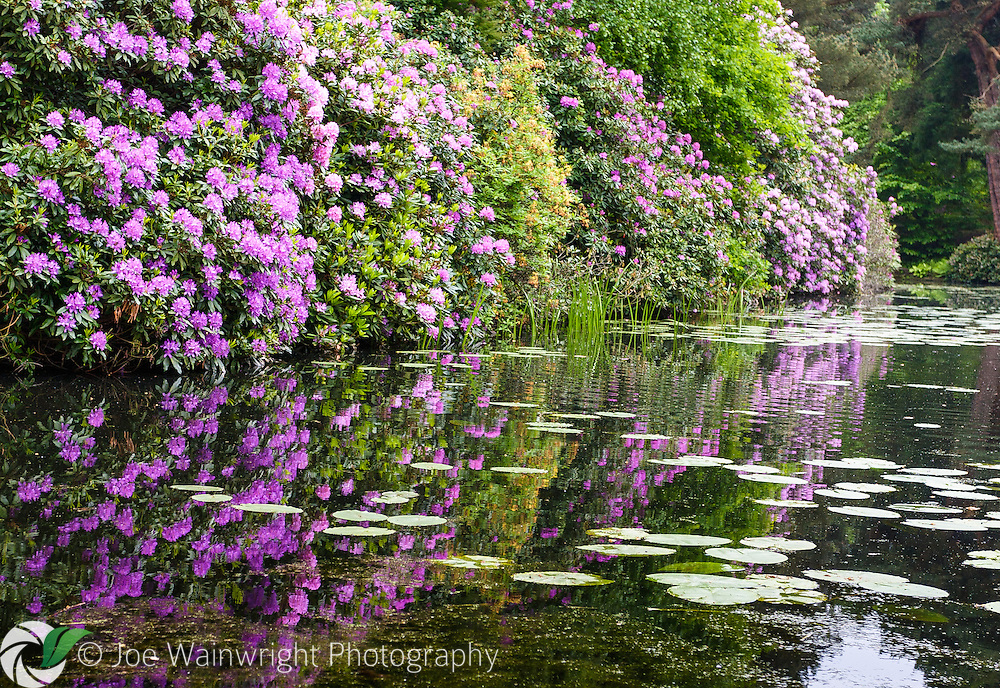 Visitors to Tatton Park can enjoy a fantastic display of rhododendrons and azaleas during May - here reflected in a lake near the Japanese Garden.