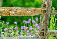 Wildflowers at fence at Gettysburg battlefield.