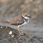 The little ringed plover (Charadrius dubius) is a small plover.