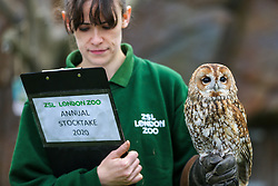 © Licensed to London News Pictures. 02/01/2020. London, UK. A London Zoo keeper with a Tawny owl - ALBERTA  during the annual stocktake at London Zoo. London Zoo undertakes its annual stocktaking which is carried out at the the start of each year. Every animal in London Zoo is weighed and measured and the statistics is shared with other Zoos across the world. Photo credit: Dinendra Haria/LNP