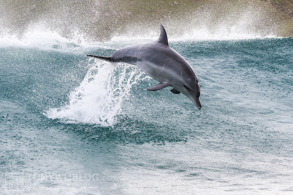 Indo-Pacific bottlenose dolphin (Tursiops aduncus) leaping out of the water while surfing among swells in South Africa