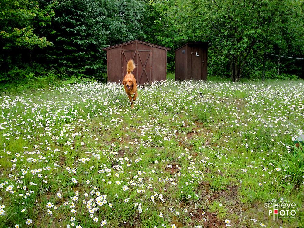 Oscar runs through a field of wild daisies.