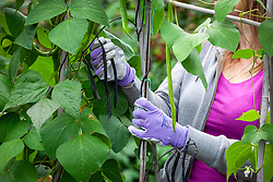 Harvesting French beans - Phaseolus vulgaris