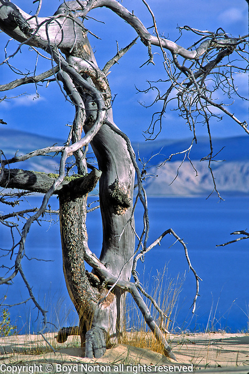 Dead tree and sand dunes, Pribaikalski National Park, Olkhon Island, Lake Baikal. Olkhon Islands is the largest island in the lake. Lake Baikal is the oldest (25 million years), deepest (5700 feet) and largest lake in the world by volume(it holds 20% of the earth's liquid fresh water). Threatened by pollution and most recently by an oil pipeline, Baikal has become a rallying point for Russian and international conservationists. Baikal was declared a World Heritage Site in 1996. Boyd Norton, the photographer here, worked with Russian and U.S. environmentalists to get Baikal designated a World Heritage Site.