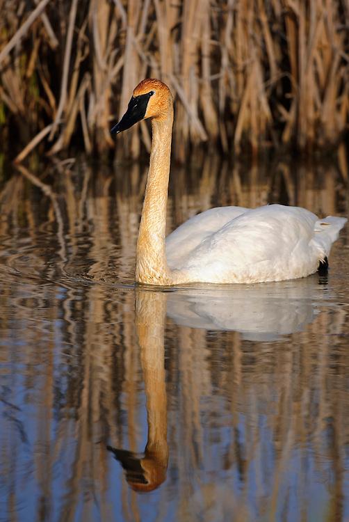 Trumpeter Swan, Western Montana