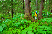Alaska, Tongass National Forest, Chichagof Island, small child admiring an old growth Sitka spruce (Picea sitchensis), surrounded by devil's club (Oplopanax horridus).