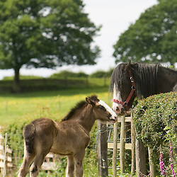 Shire Horse Families