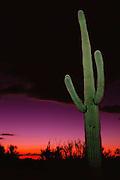 Sunset sky at the Saguaro National Monument, Arizona desert with large green saguaro cactus (Carnegiea gigantea) near Tucson, Arizona, USA.