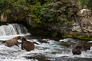 Bear 128, known as Grazer, fought with nearly every other bear at Brooks Falls in Katmai National Park