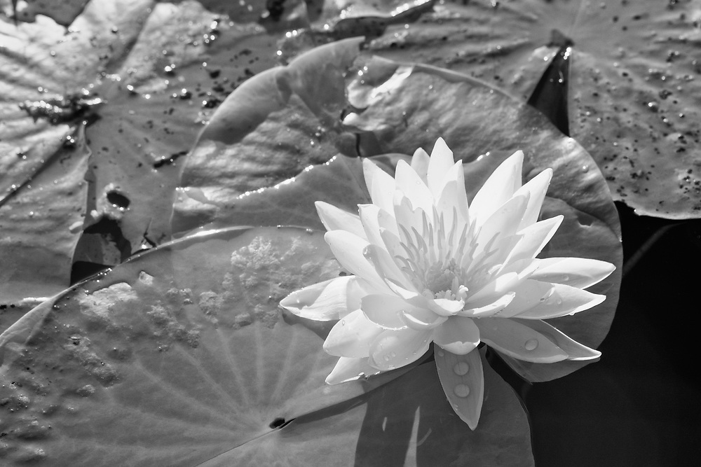 Water Lily And Lilipads - Caddo Lake, Texas - Infrared Black & White