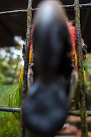 Red-lored parrot trying to eat the camera at Belize Zoo