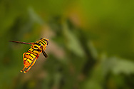 Yellowjacket Hover Fly (Milesia virginiensis) flying<br /> United States: Alabama: Tuscaloosa Co.<br /> Tulip Tree Springs off Echola Rd.; Elrod<br /> 3-Jun-2016<br /> J.C. Abbott #2825 &amp; K.K. Abbott