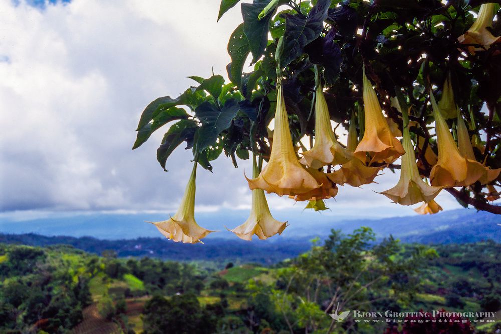 Indonesia, Sulawesi, Rurukan. Brugmansia are large shrubs or small trees, Their large, fragrant flowers give them their common name of Angel's Trumpets.