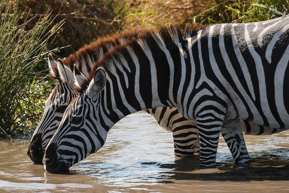 Two Burchell's zebra (Equus burchellii) drink from a river, Serengeti, Tanzania.
