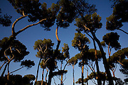 The pine grooves of the Borghese gardens