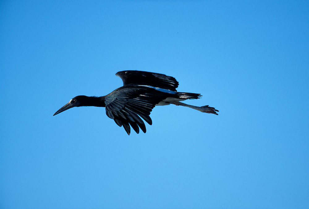 Namibia, Etosha National Park, Black-headed Heron flies toward desert water hole (Ardea melanocephala)