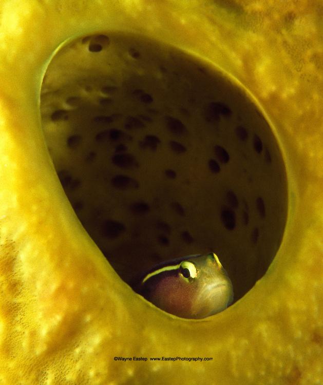 Yellowline Goby (Gobiosoma horsti)  These tiny fish live inside sponges and eat parasitic worms. Saba