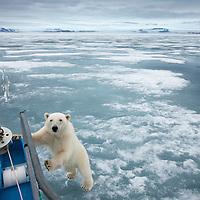 Norway, Svalbard, Nordaustlandet, Polar Bear (Ursus maritimus) standing at yacht's bow in ice at Sabinebukta Bay at Irminger Point