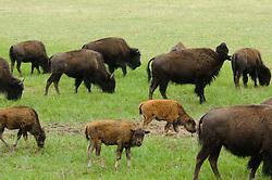buffalos at Grand Canyon National Park North Rim