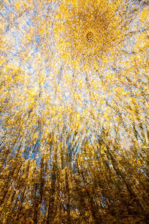 Quaking Aspens, Populus tremuloides, Sturgeon River Gorge Wilderness, Michigan