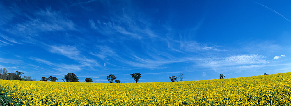 Australia, New South Wales, Field of bright yellow mustard seed on farmland near town of Cowry
