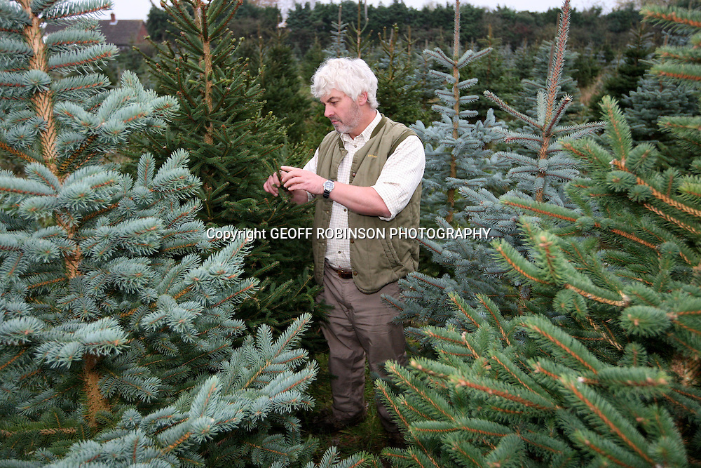 "FARMER VINCE THURKETTLE HARVESTING THE FIRST OF THIS YEARS CHRISTMAS TREES NEAR THETFORD,NORFOLK... Christmas tree growers in Britain are in desperate need of a COLD snap to toughen up their trees for the festive season...Farmers are praying for a FREEZING FROST in the next few weeks to improve their crop of Christmas trees and stop the needles dropping off before the end of the holiday period...While most of the UK has been enjoying the unseasonably mild weather, growers want a dip in temperatures to make their trees last LONGER...""We have been really short of frost this year,"" said Roger Hay, secretary of the British Christmas Tree Growers Association (BCTGA)...""A frost is needed to put the trees into dormancy which means they won~t be affected by external matters so much and will be healthier, easier to look after and last longer...""It also helps to fix the needles. When a tree freezes the branches put out a sugar which goes into the needles and helps to hold them on...SEE COPY CATCHLINE British xmas trees need FROST"