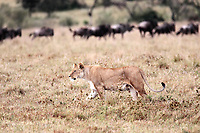 female Lion hunting Wildebeest gnu in the Masai Marra reserve in Kenya Africa