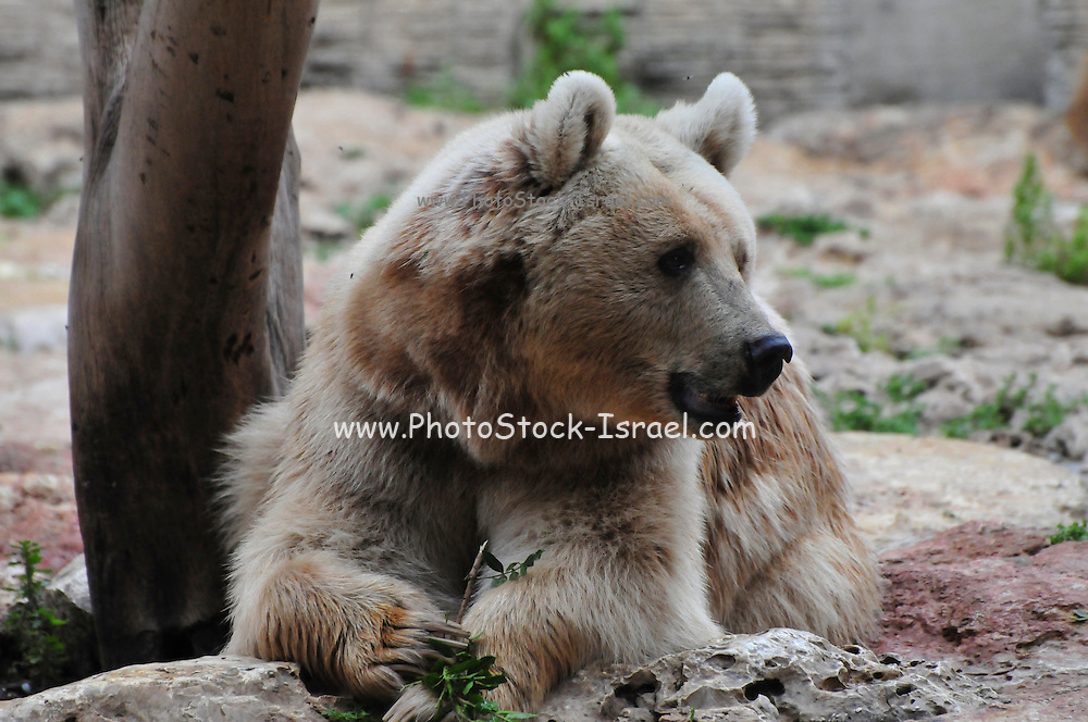 Syrian Bear - Ursus arctos syrianus.