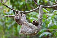 A young Brown-throated Sloth (Bradypus variegatus) and it's mother hang on branch in the jungle of Corcovado National Park, Costa Rica