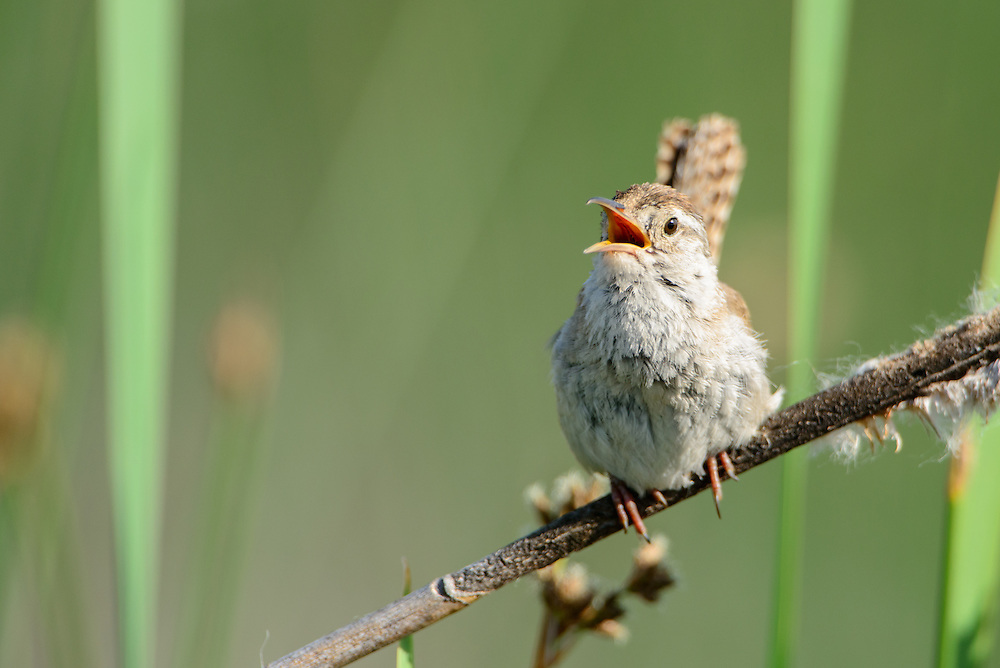 Singing Marsh Wren (Cistothorus palustris), Montana