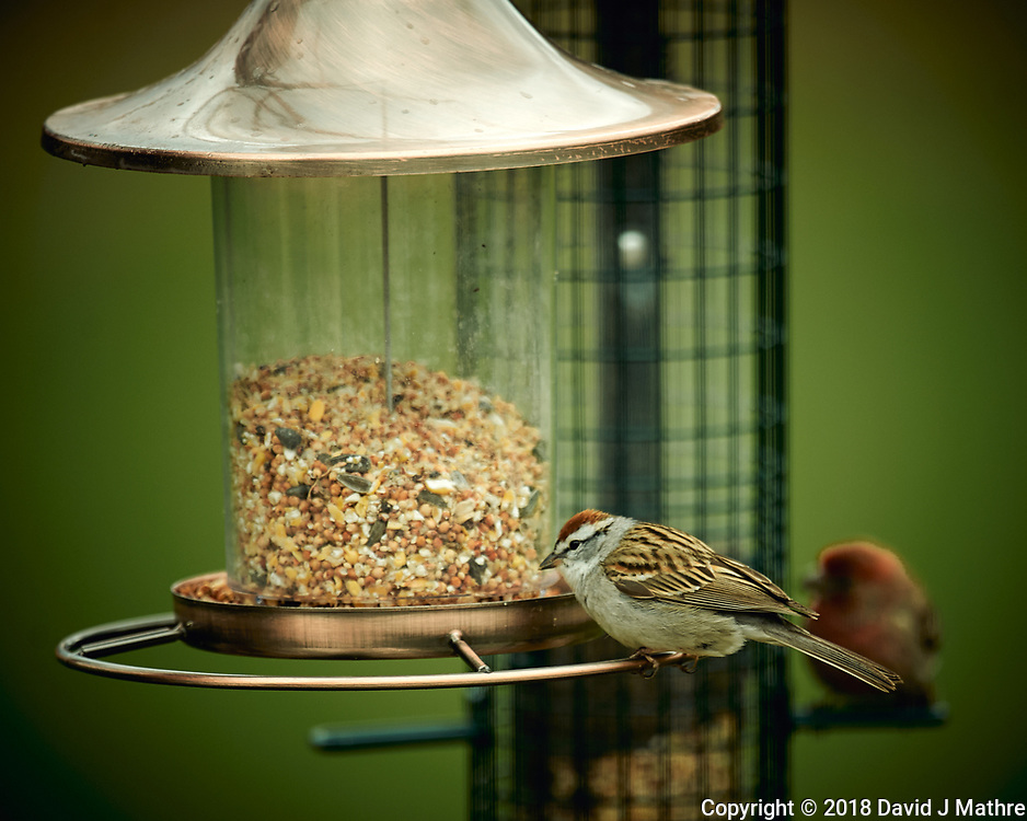 Chipping Sparrow Image taken with a Nikon D4 camera and 600 mm f/4 VR lens (ISO 320, 600 mm, f/4, 1/400 sec).