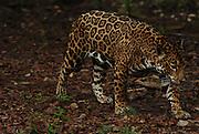 Yucatan Peninsula: Xcaret, Xel-Ha and Xplore parks. Shown: jaguar. (June 2015/ photo by Essdras M Suarez/ EMS Photography©)