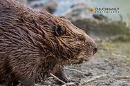 Beaver in Grand Teton National Park, Wyoming, USA