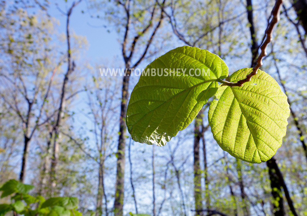 Middletown, New York - Green leaves appear on trees along a nature trail at Fancher-Davidge Park on April 19, 2012.