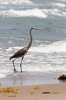 Great Blue Heron at Boca Chica, mouth of the Rio Grande/Rio Bravo River between Texas, USA and Tamaulipas, Mexico.