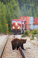 Grizzly bear feeding on grain comes face to face with a train on the Canadian Pacific Railway tracks in Banff National Park, Alberta, Canada