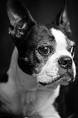 Mr. Big & Benson - Boston Terriers