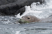Hawaiian monk seal, Monachus schauinslandi ( Critically Endangered, endemic species ), female with green algae on face,  swimming out to sea, Keahole, Kona, Hawaii ( the Big Island )