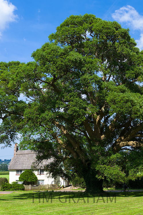 Cork Oak Tree, Quercus suber, an evergreen tree by quaint country cottage at Powderham in Devon, England, UK