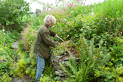 Carol Klein cutting back Geranium x oxonianum 'Walters Gift' with shears