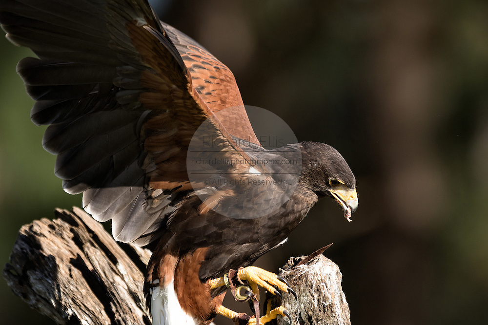 Portrait of a Harris Hawk at the Center for Birds of Prey November 15, 2015 in Awendaw, SC.