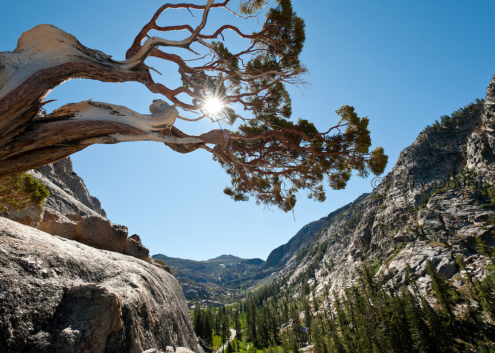 Western Juniper Tree at Chipmonk Flat on Sonora Pass, California