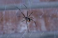 Black Widow, Latrodectus hesperus, female on  web