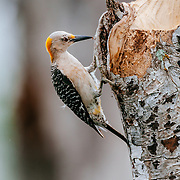 Perching flicker on a South Texas Ranch durning wet spring weather.